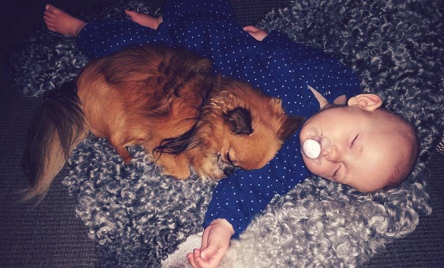 Chihuahua, bebis och lammskinn.